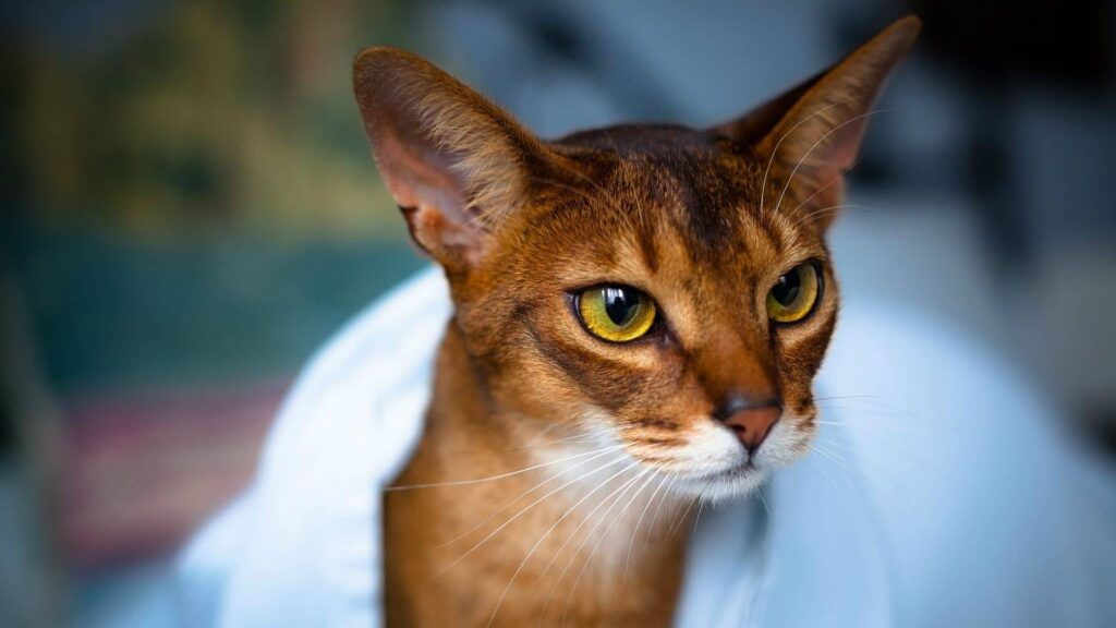 Absyssinian