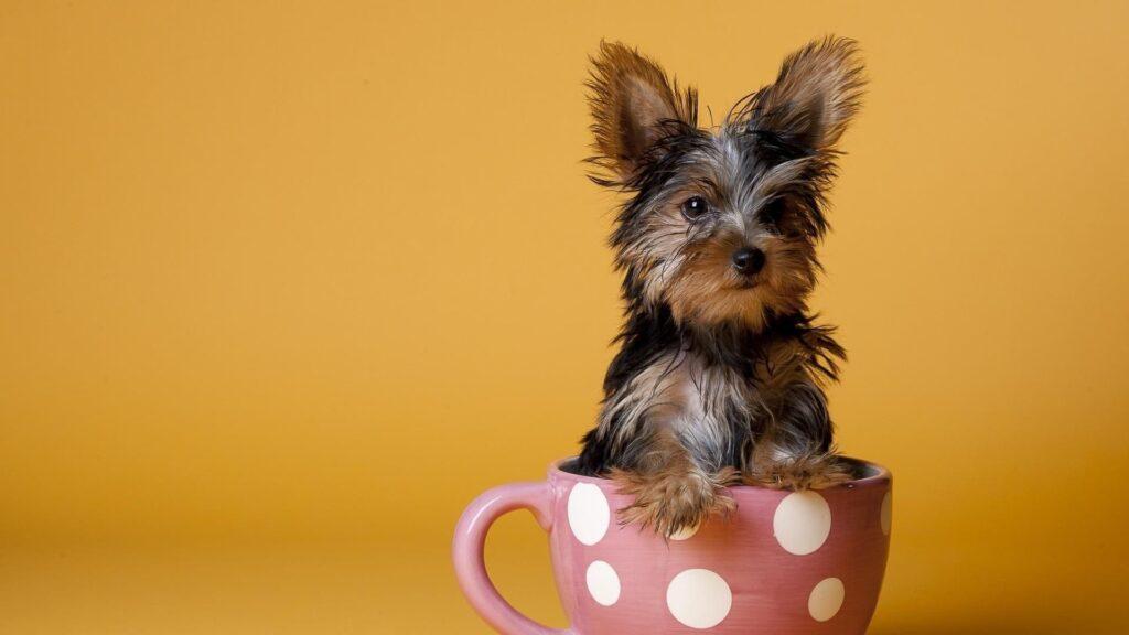 Yorkshire Terrier Bakımı Nasıldır?
