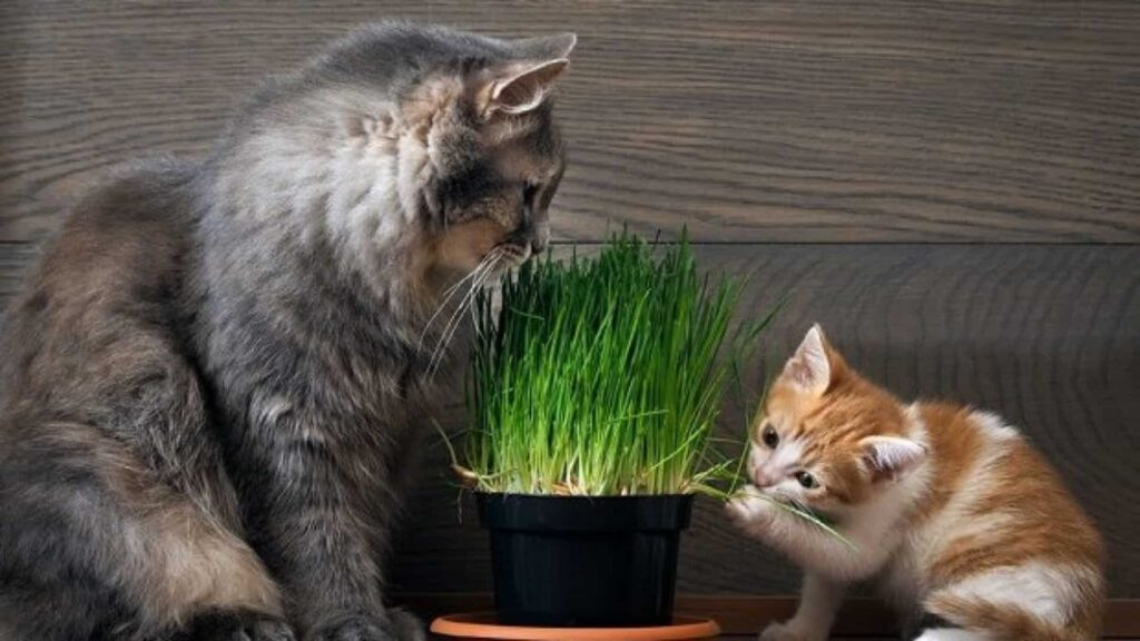 Kedi Çimi