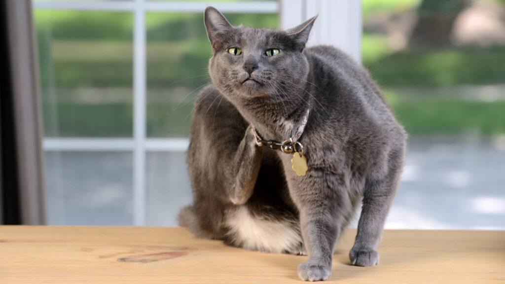 Kedi Piresi