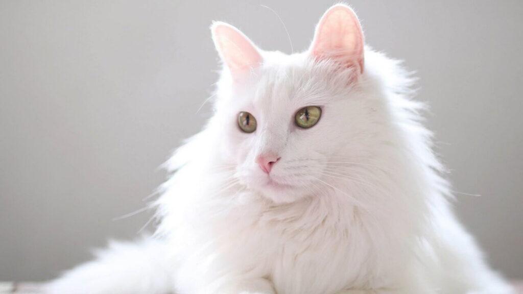 Ankara kedisi özellikleri