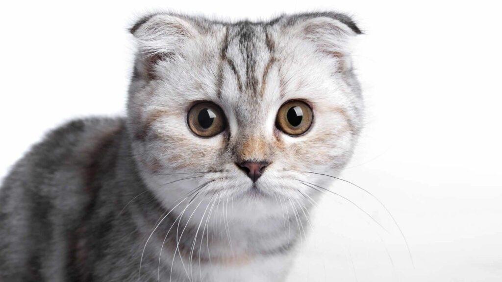 kısa kulaklı kedi