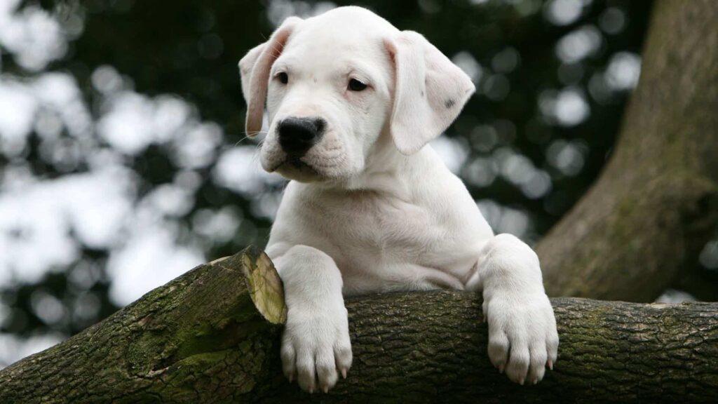Dogo Argentino Köpek Irkı Özellikleri