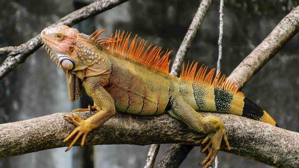 Evde iguana beslemek