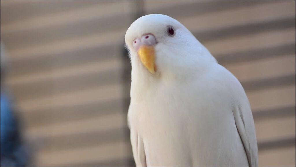 beyaz muhabbet kuşu
