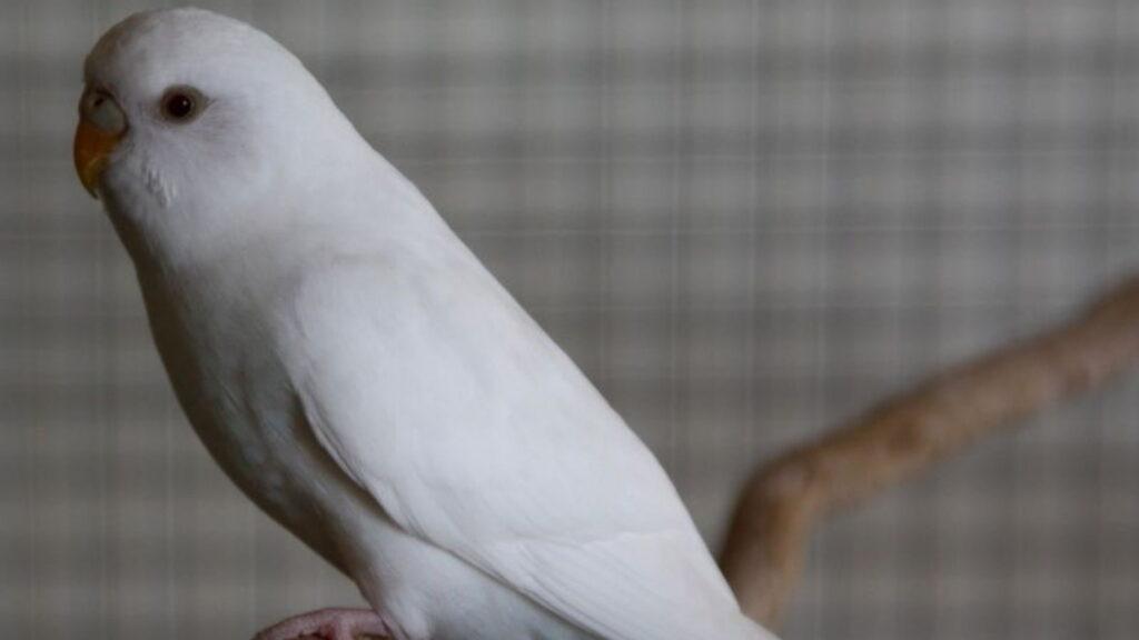 albino kuşu