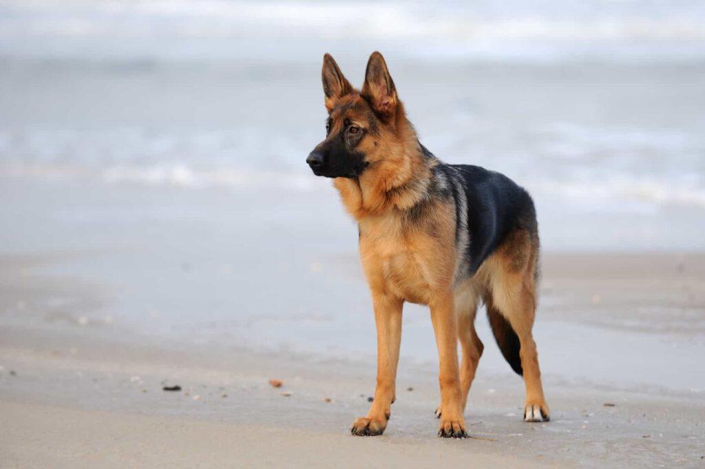 Alman Köpeği