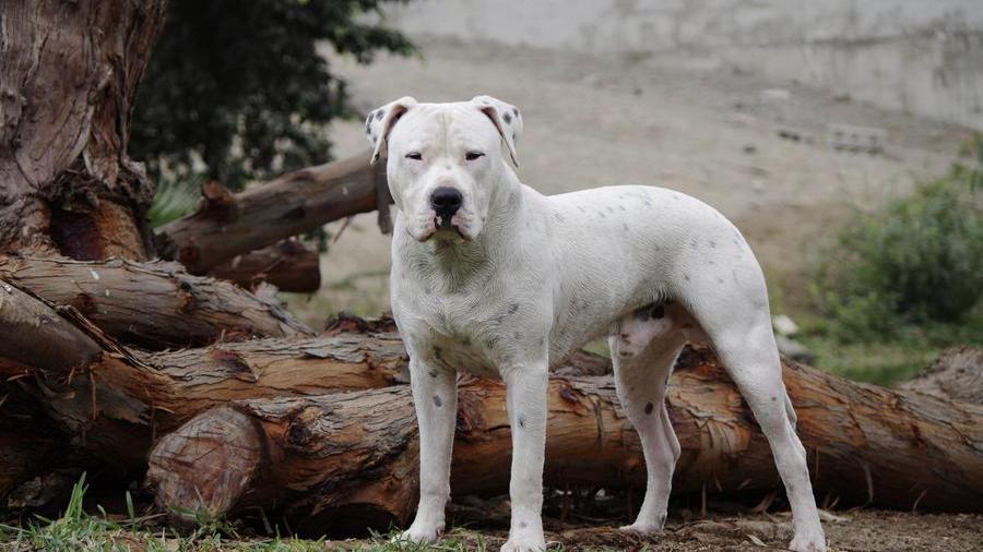 Arjantin Köpeği
