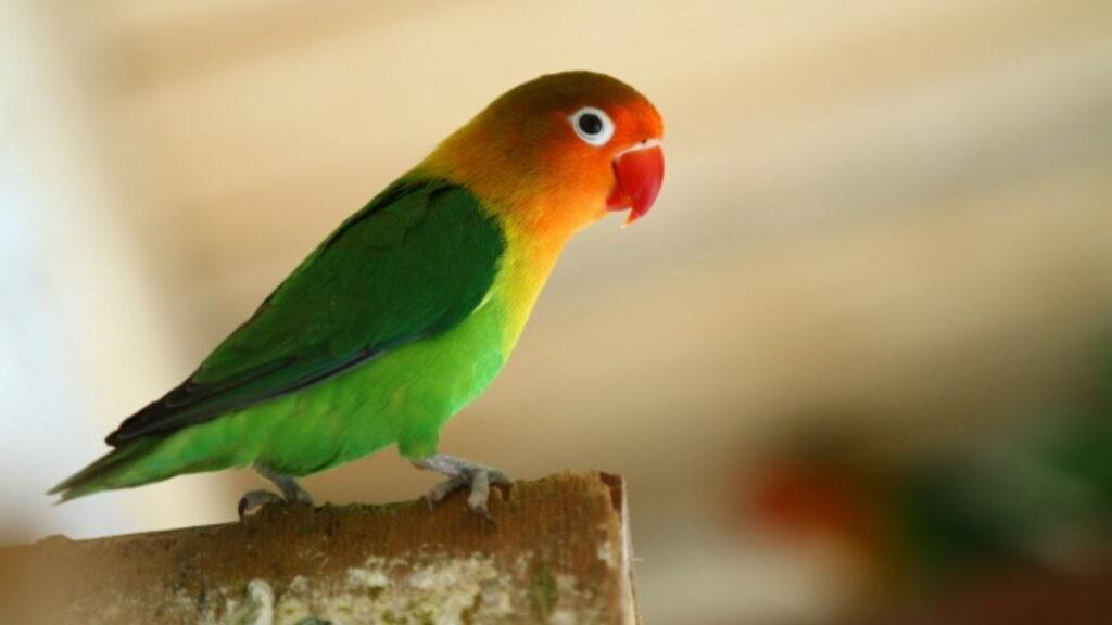 Konuşan papağan cinsi