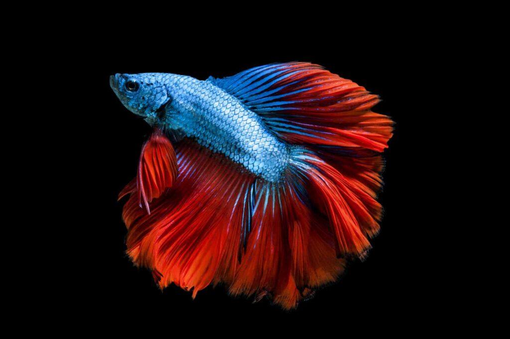 Beta Balığı Özellikleri