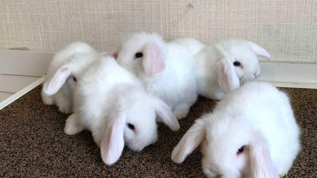 hollanda lop tavşanları