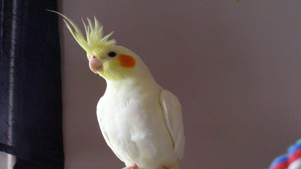 Sultan papağanı ne zaman konuşur