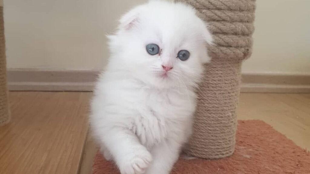 kulaksız kedi