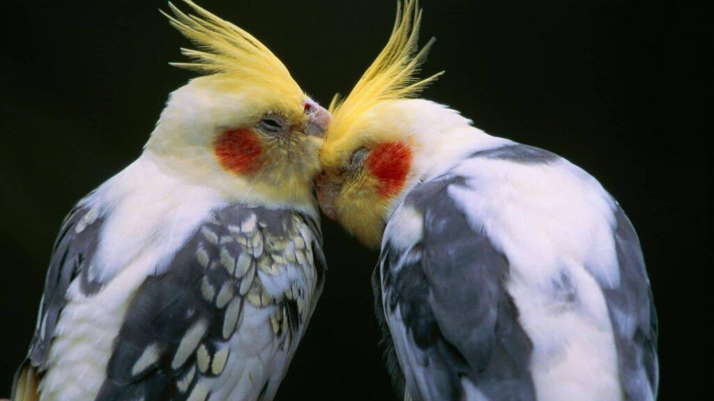 sevda papağanı