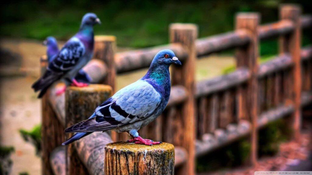 Güvercin özellikleri