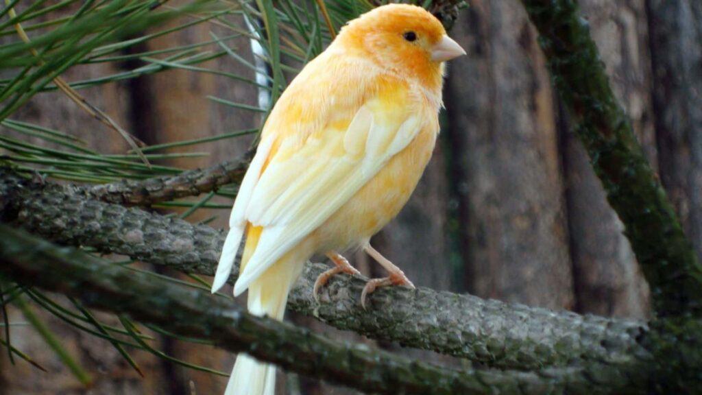 Kanarya Kuşu