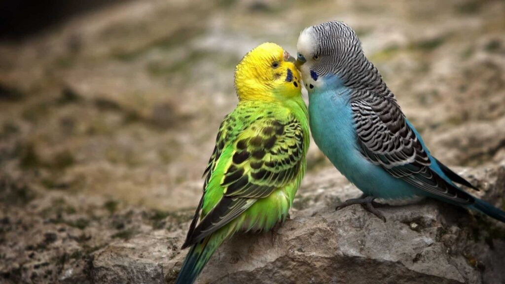 Muhabbet kuşu ne zaman yumurtlar
