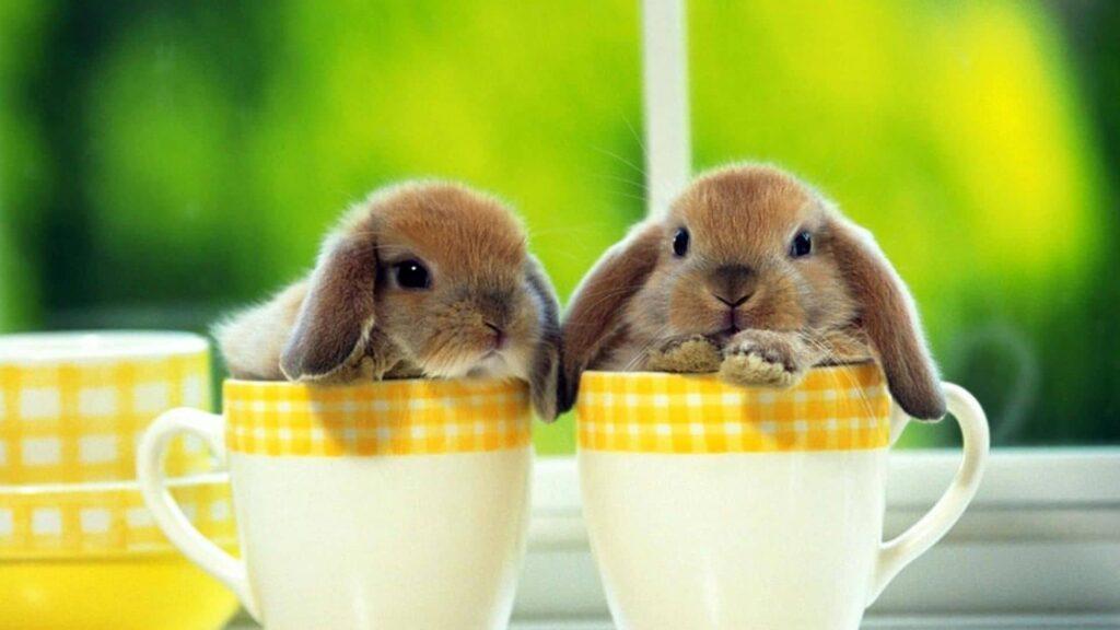 Evde tavşan bakımı