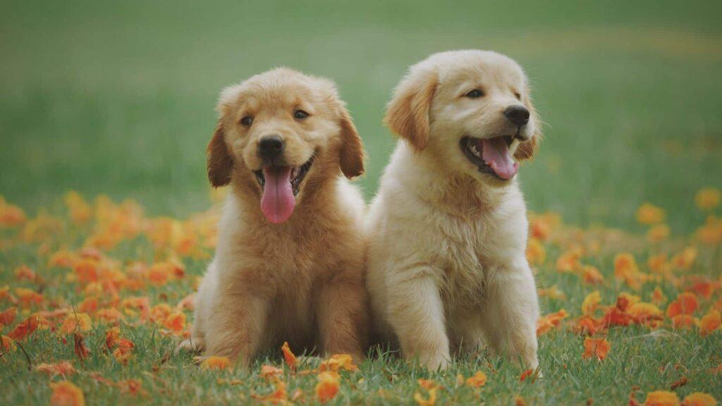 Golden köpek