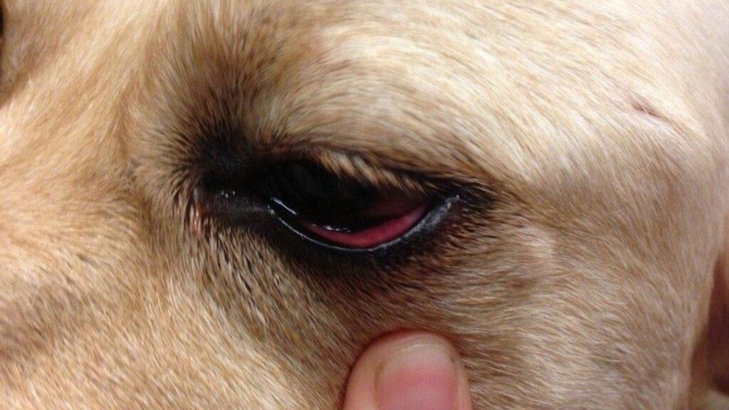 köpeklerde göz kızarıklığı