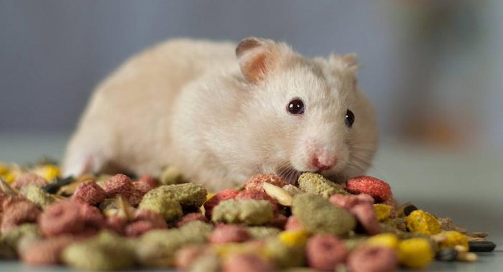 hamster hakkında bilgi