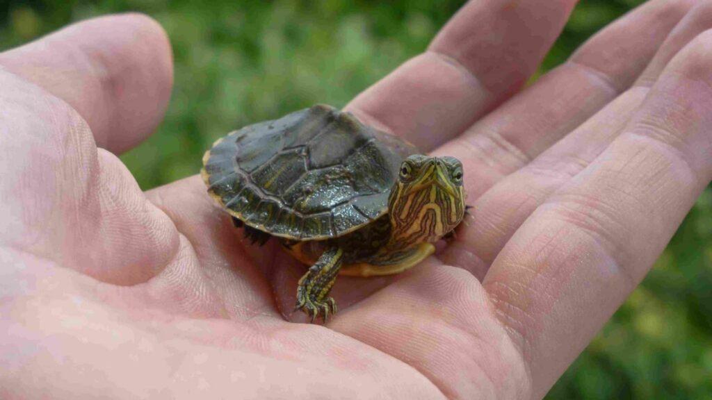 Su kaplumbağası ne yer