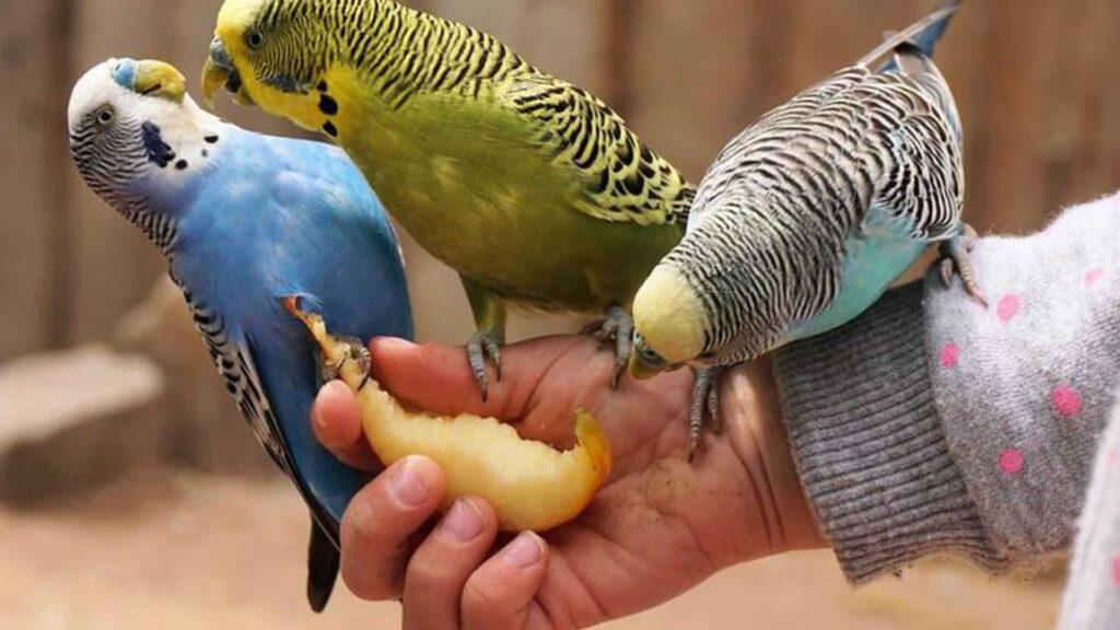 Muhabbet Kuşlarının Evcil Hale Getirilmesi Nasıl Yapılır?