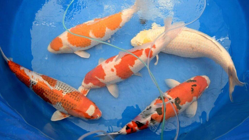 Japon balığı cinsiyet ayrımı
