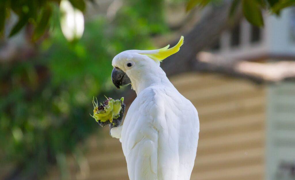 kakadu türleri