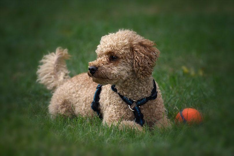 Kaniş Köpek