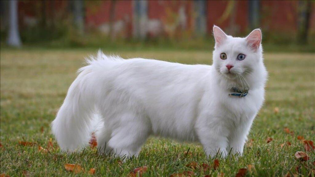 Kedi Ömrü