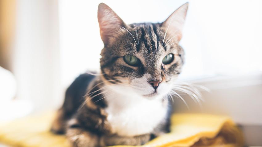 kedi göz iltihabı
