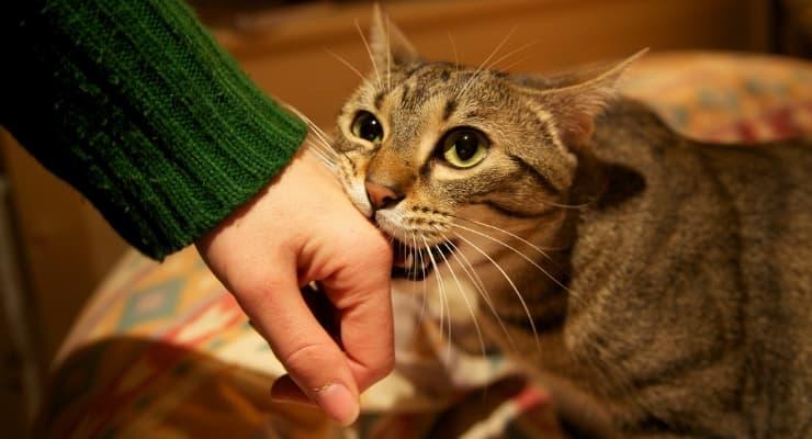 kedi ısırığı