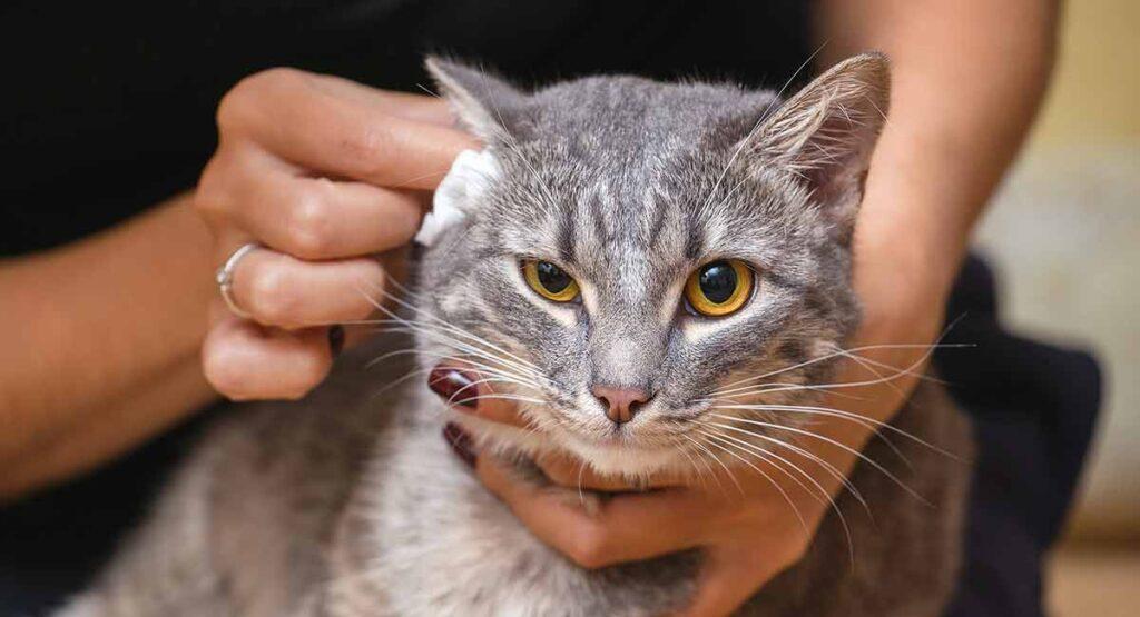 Kedi Kulağı Nasıl Temizlenir