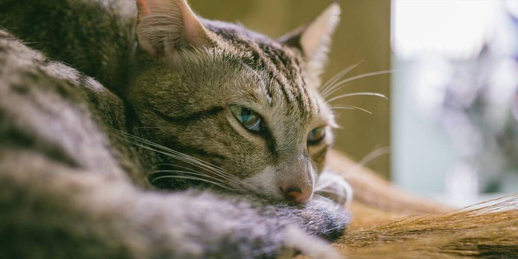 kedi mantar tedavisi