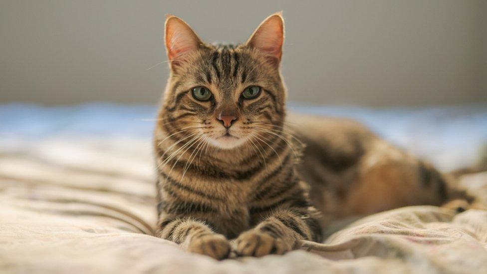 kediler hakkında bilgi
