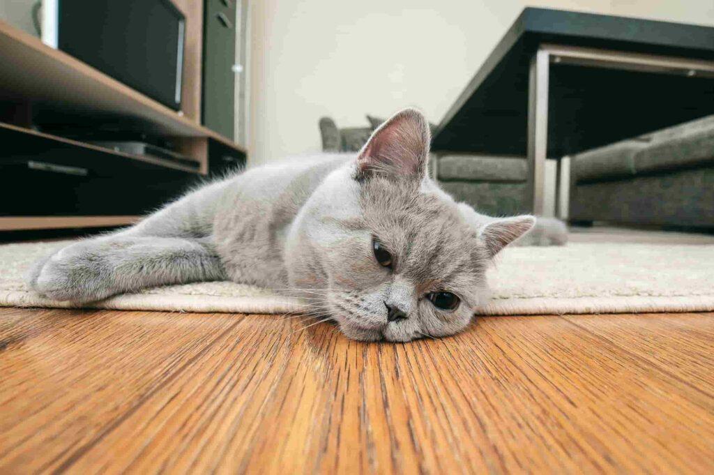 Kediler Neden İshal Olur