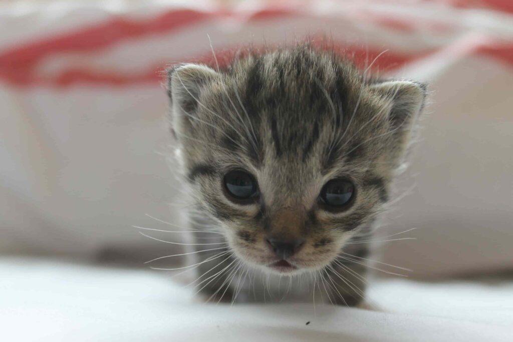 kedilerde doğum belirtileri