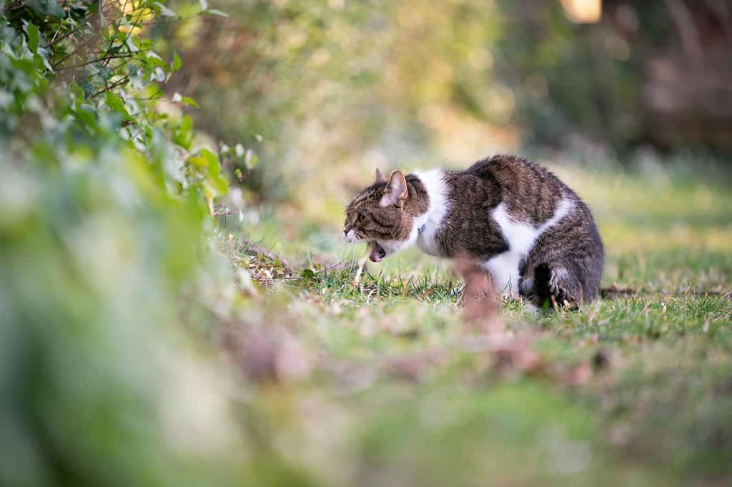 Kedilerde Kusmanın Nedenleri