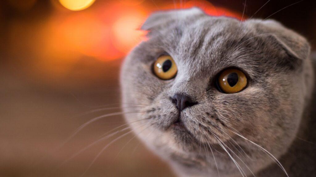 kırık kulak kedi