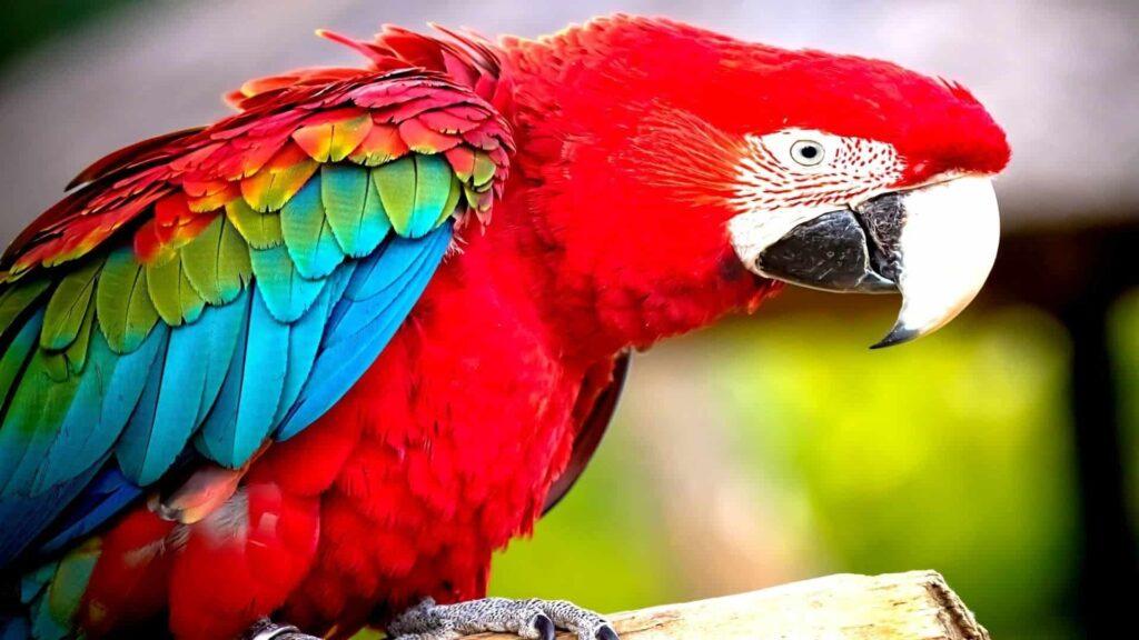 Papağan kaç yıl yaşar?