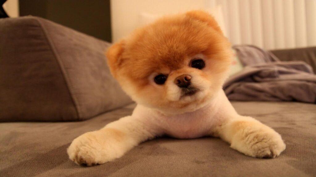 Pomeranian Boo karakter özellikleri