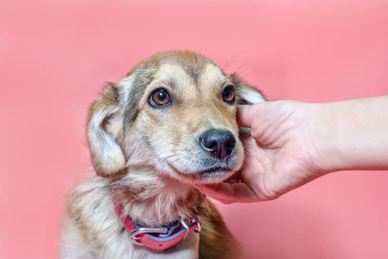 Köpeklerde Kulak Uyuzu