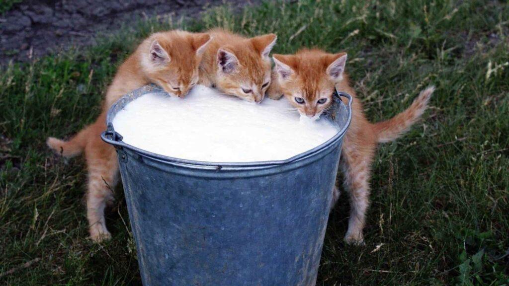 Yavru kediye sulandırılmış