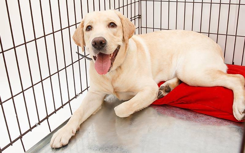 Labrador Cinsi Köpek