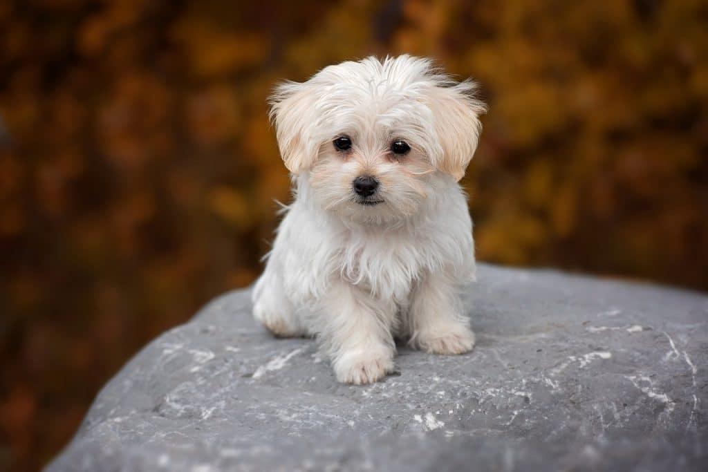 malta terrier