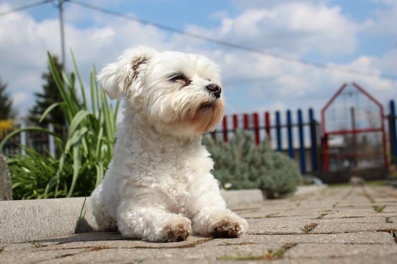 Maltese Köpek