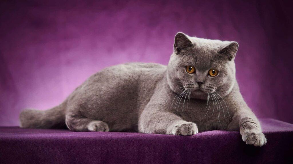 British kedi özellikleri
