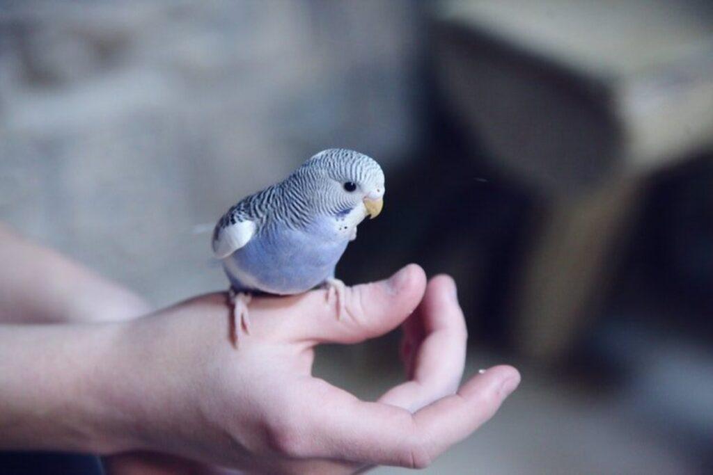 muhabbet kuşları kaç yıl yaşar