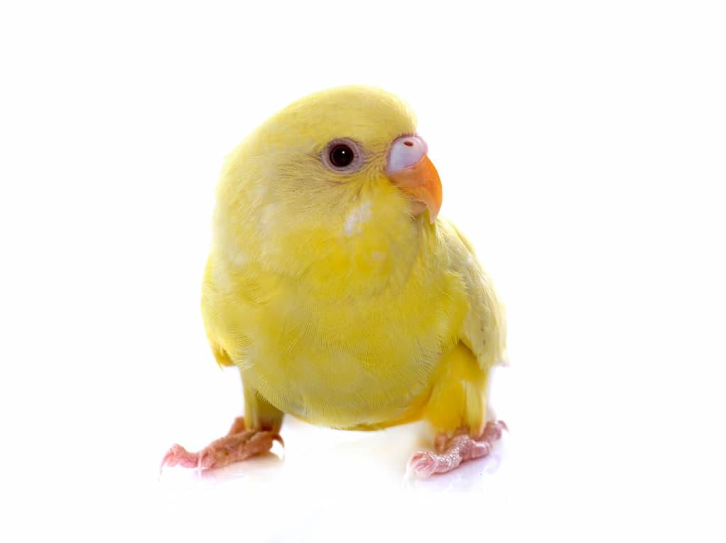 Muhabbet Kuşları Ne Zaman Tüy Döker